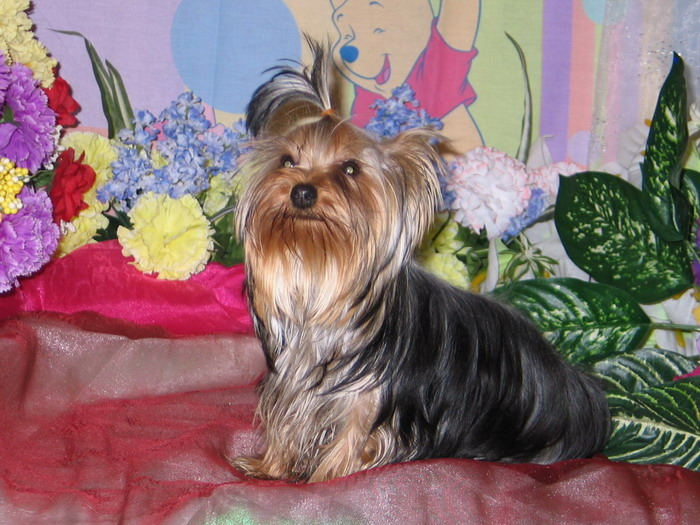 Available Yorkie Puppies | Best Yorkie Breeder | Yorkshire Terrier